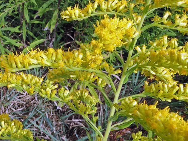 Золотушник найвищий (Solidago altissima = Solidago canadensis var. scabra)