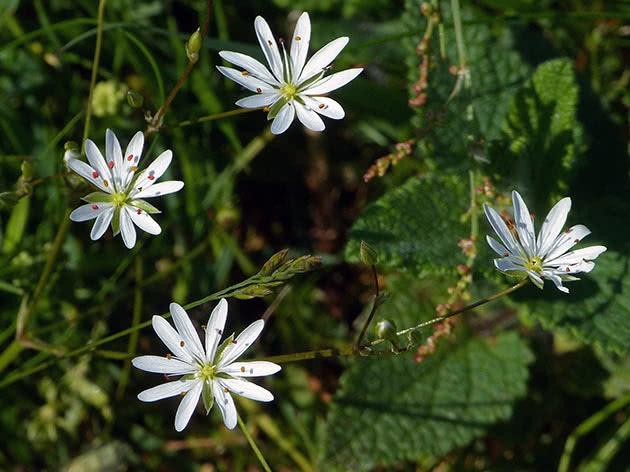 Звездчатка злаковая (Stellaria graminea)