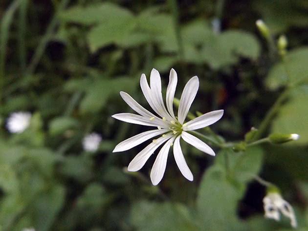 Зірочник гайовий (Stellaria nemorum)