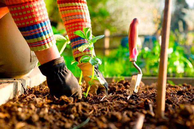 Висадка квасолі в ґрунт