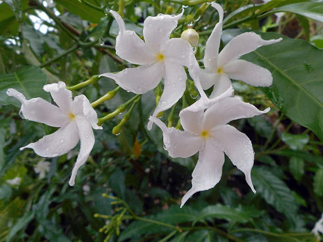 Табернемонтана розчепірена (Tabernaemontana divaricata)