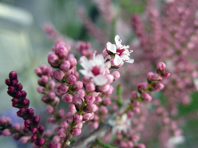 Вирощування тамариксу в ґрунті: посадка і догляд