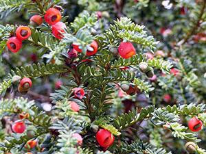 Растение тис – выращивание в саду