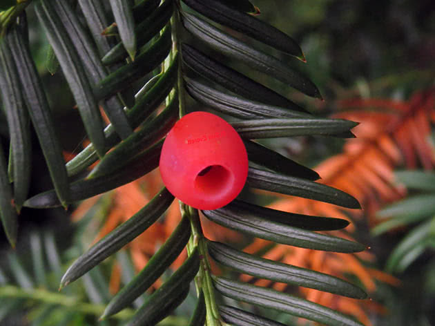 Тис коротколистный (Тахus brevifolia = Тахus baccata var. brevifolia)
