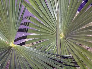 Пальма трахікарпус: догляд у домашніх умовах