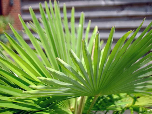 Выращивание пальмы трахикарпус в домашних условиях