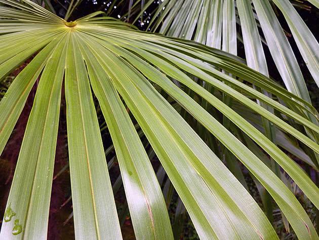 Трахікарпус Форчуна (Trachycarpus fortunei)