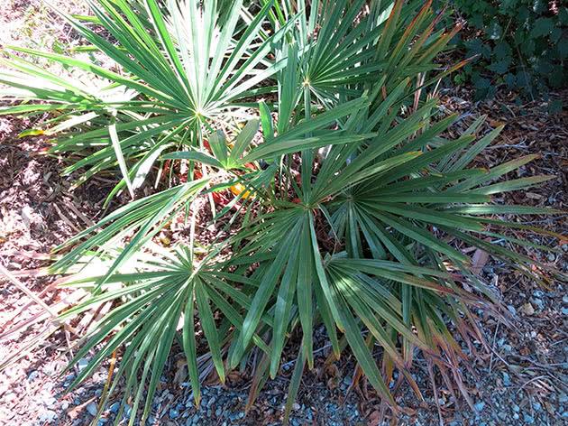Трахікарпус карликовий (Trachycarpus nanus)