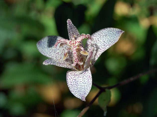 Трициртис тайваньский (Tricyrtis formosana)