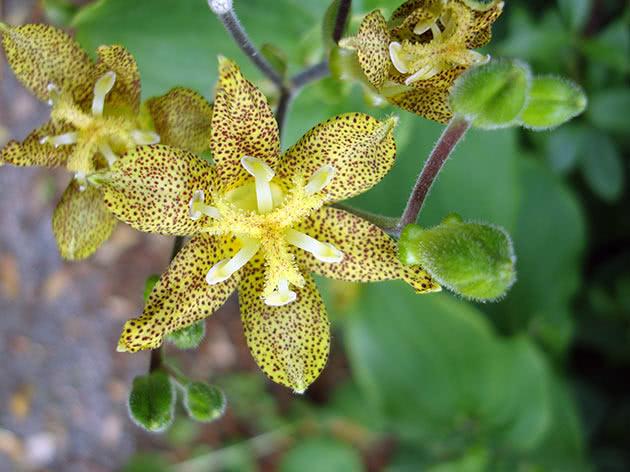 Трициртис широколистный (Tricyrtis latifolia = Tricyrtis bakeri)