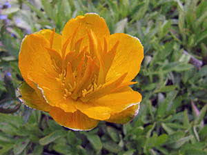 Цветок купальница – выращивание в саду