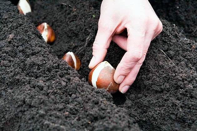 Как сажать тюльпаны