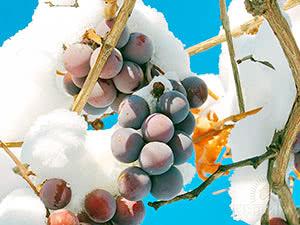 Помилки укриття винограду на зиму