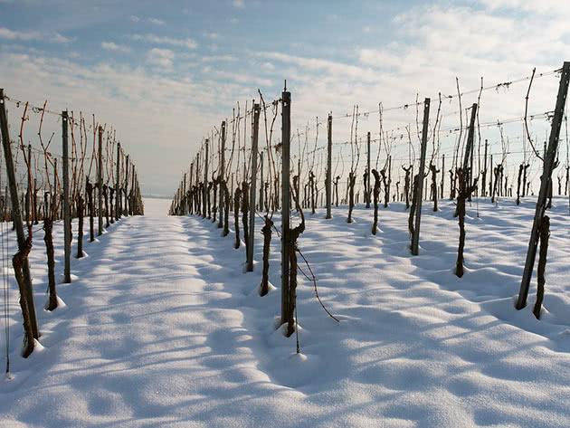 Виноградные шпалеры зимой