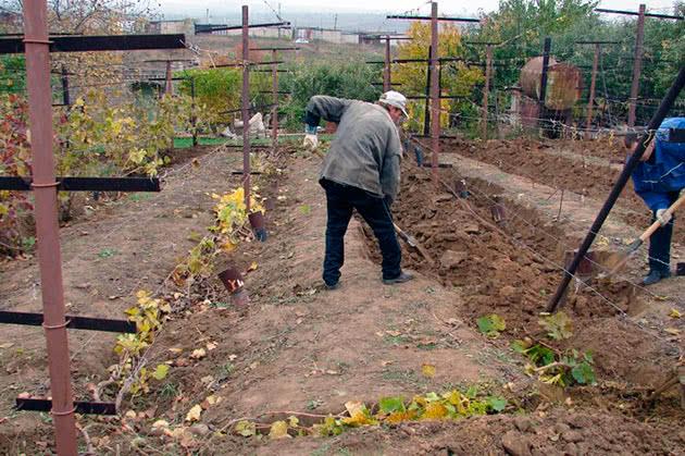 Подготовка винограда к зимовке