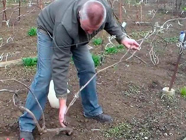 Готовим виноград к зиме