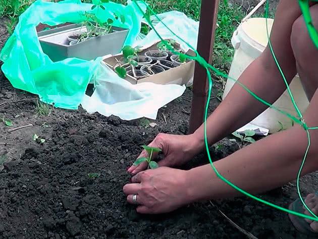Посадка огірків у відкритий ґрунт