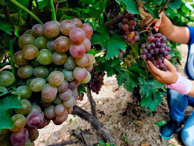 Виноград Амирхан на лозе