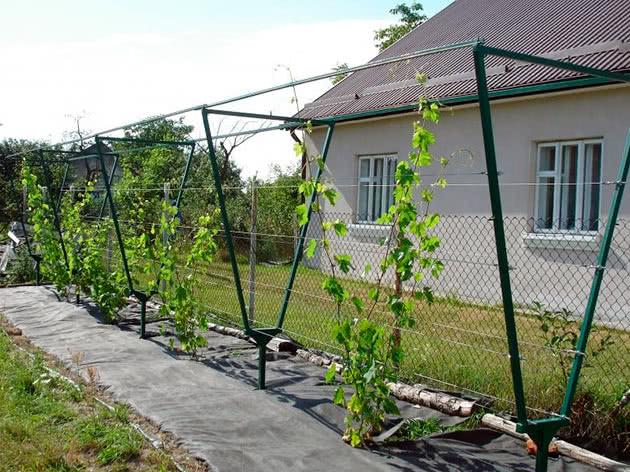 Посадка винограду