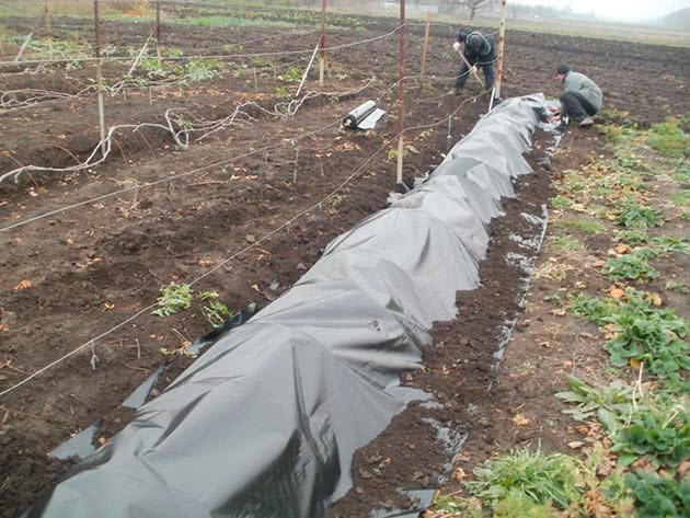 Вкриваємо виноград на зиму