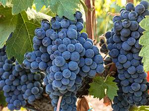 Нормування врожаю винограду