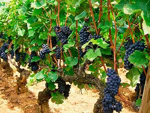 Підживлення винограду