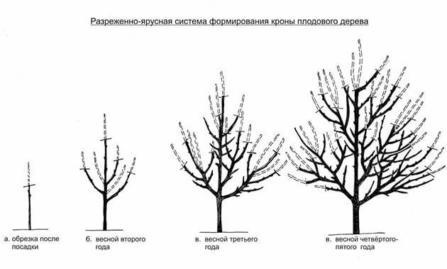 Схема обрізування яблунь