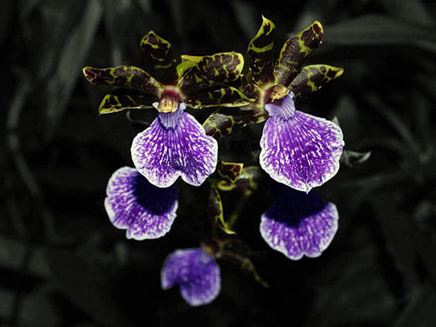 Зігопеталум проміжний (Zygopetalum intermedium)