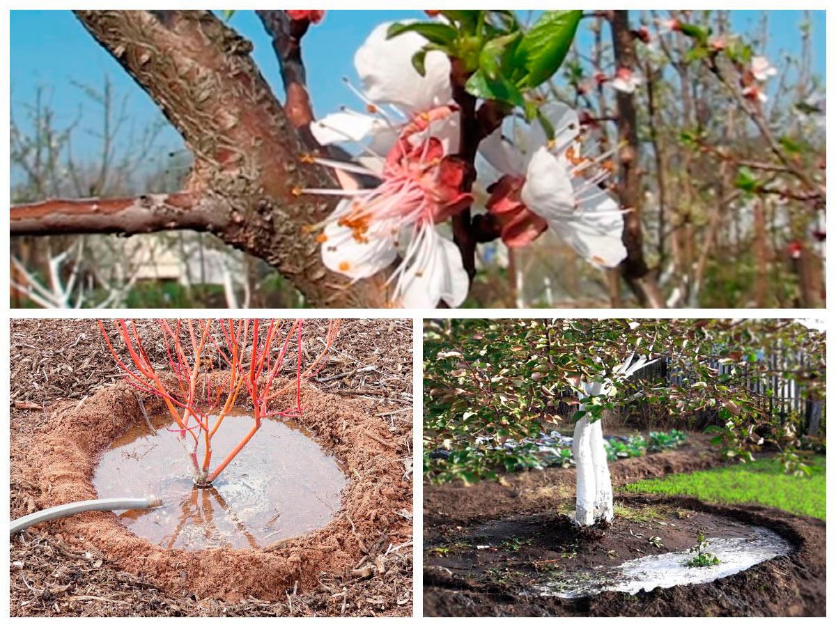 Уход за абрикос в саду