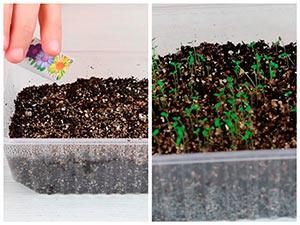 Выращивание рассады бальзамина садового