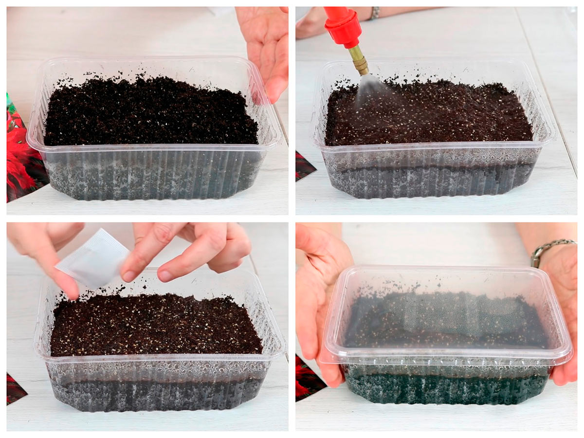 Выращивание рассады амаранта