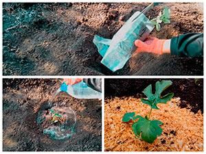 Посадка рассады арбузов в грунт