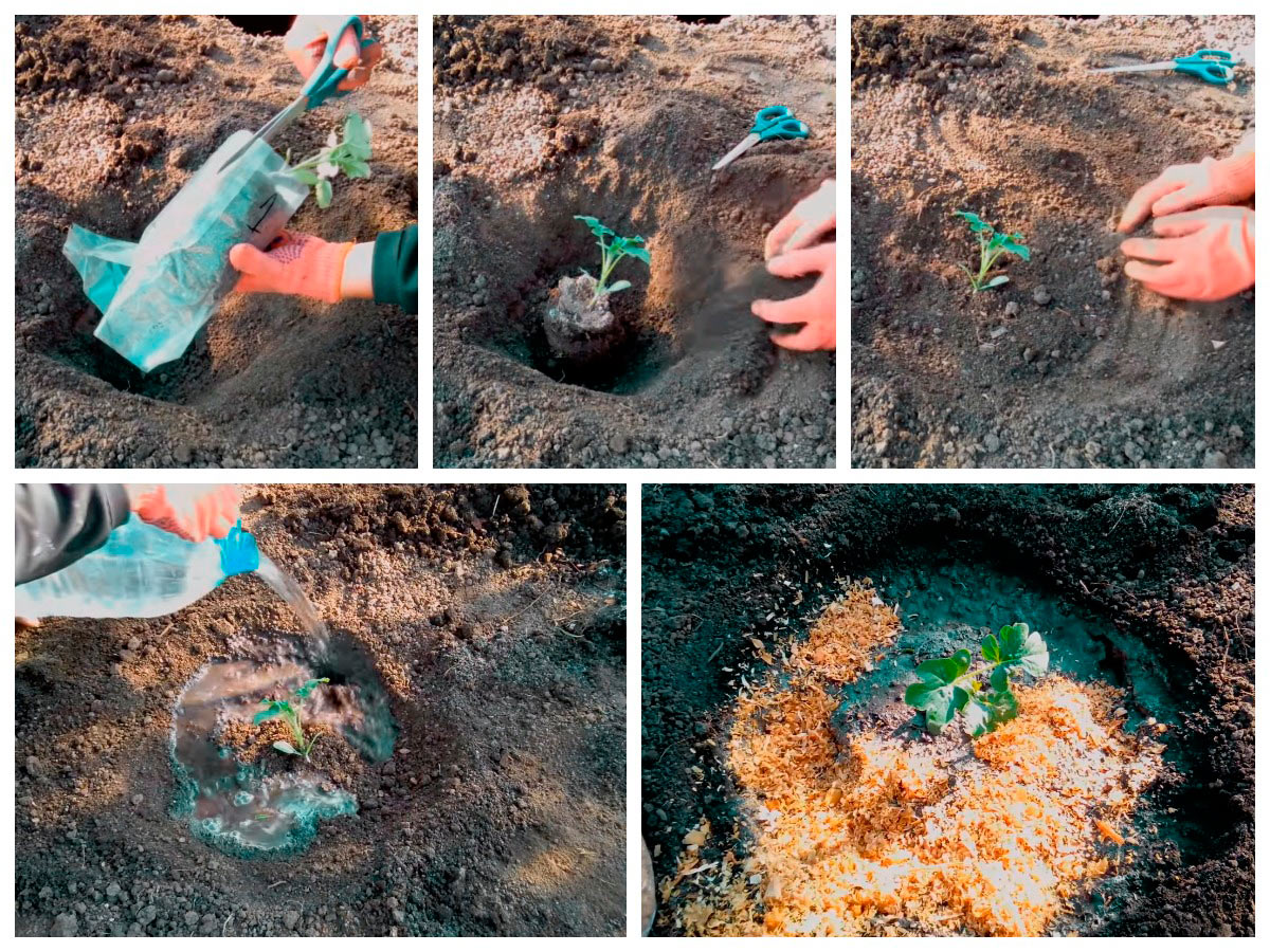 Как высаживать в грунт рассаду арбузов