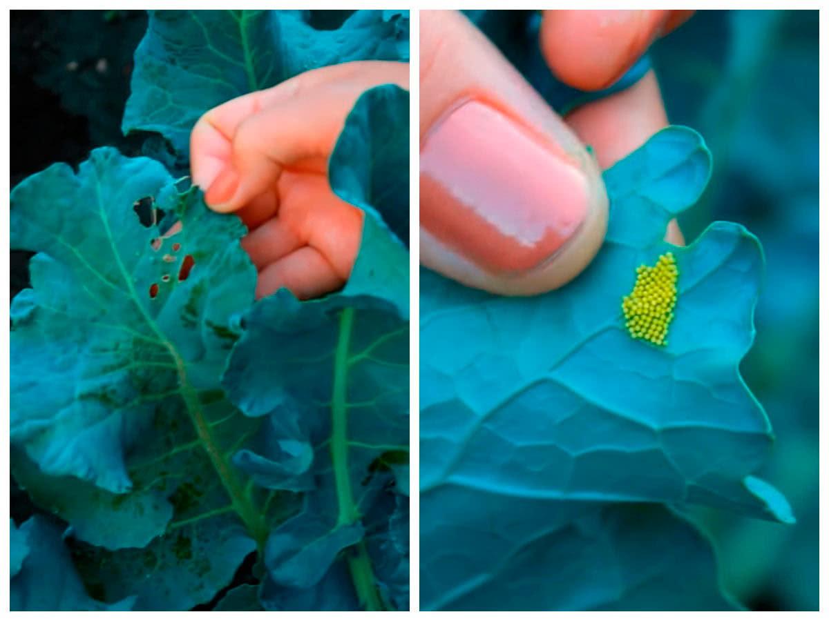 Яйца белянок и повреждённый лист капусты