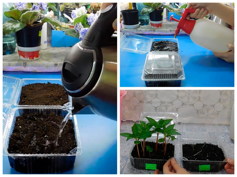 Посев бальзамина на рассаду