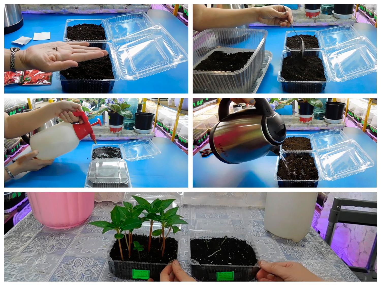2 способа посева бальзамина на рассаду
