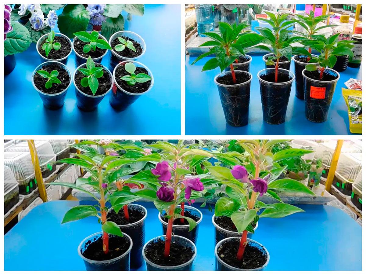 Развитие сеянцев бальзамина и начало цветения