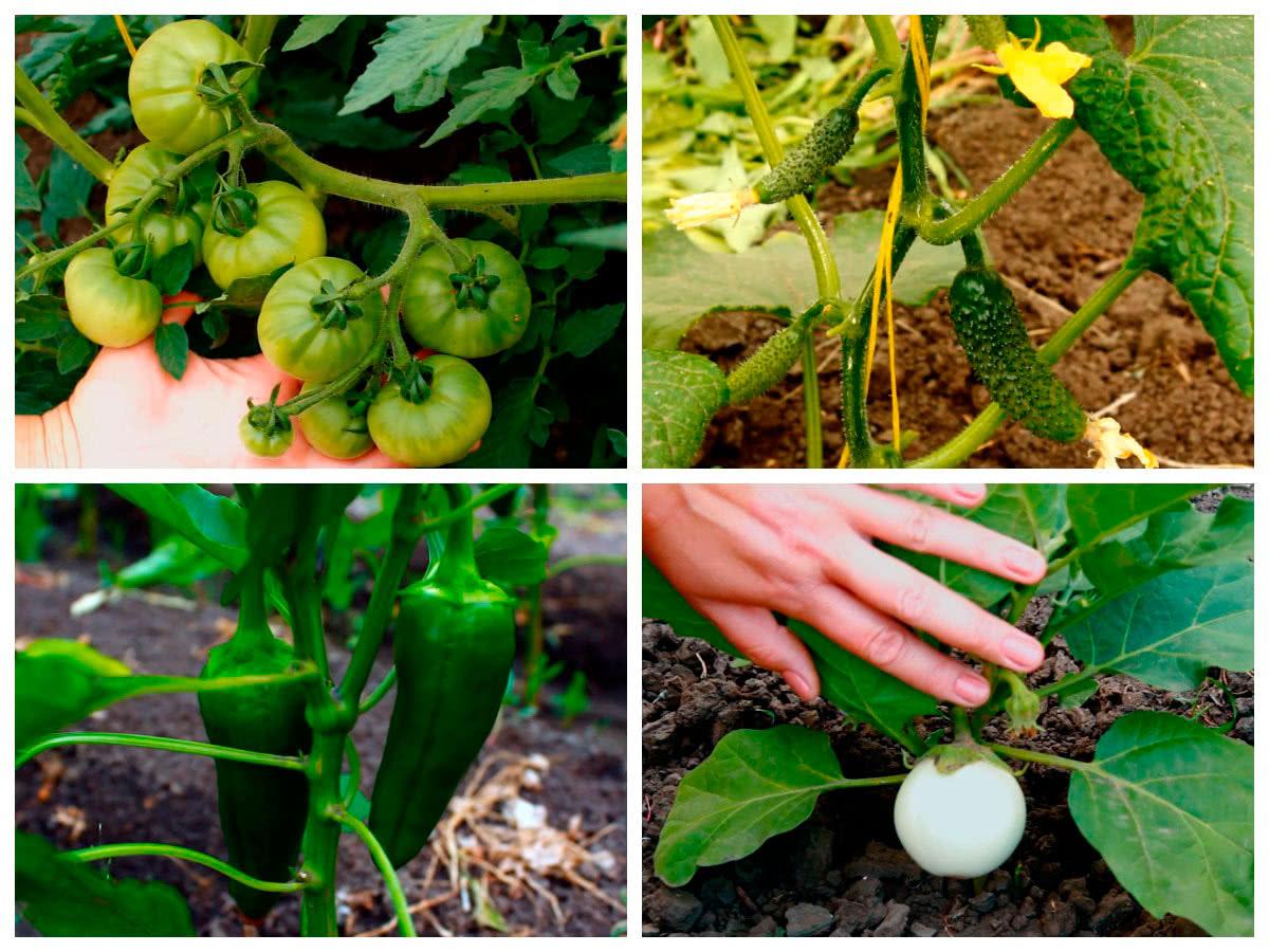 Урожай после подкормки бором
