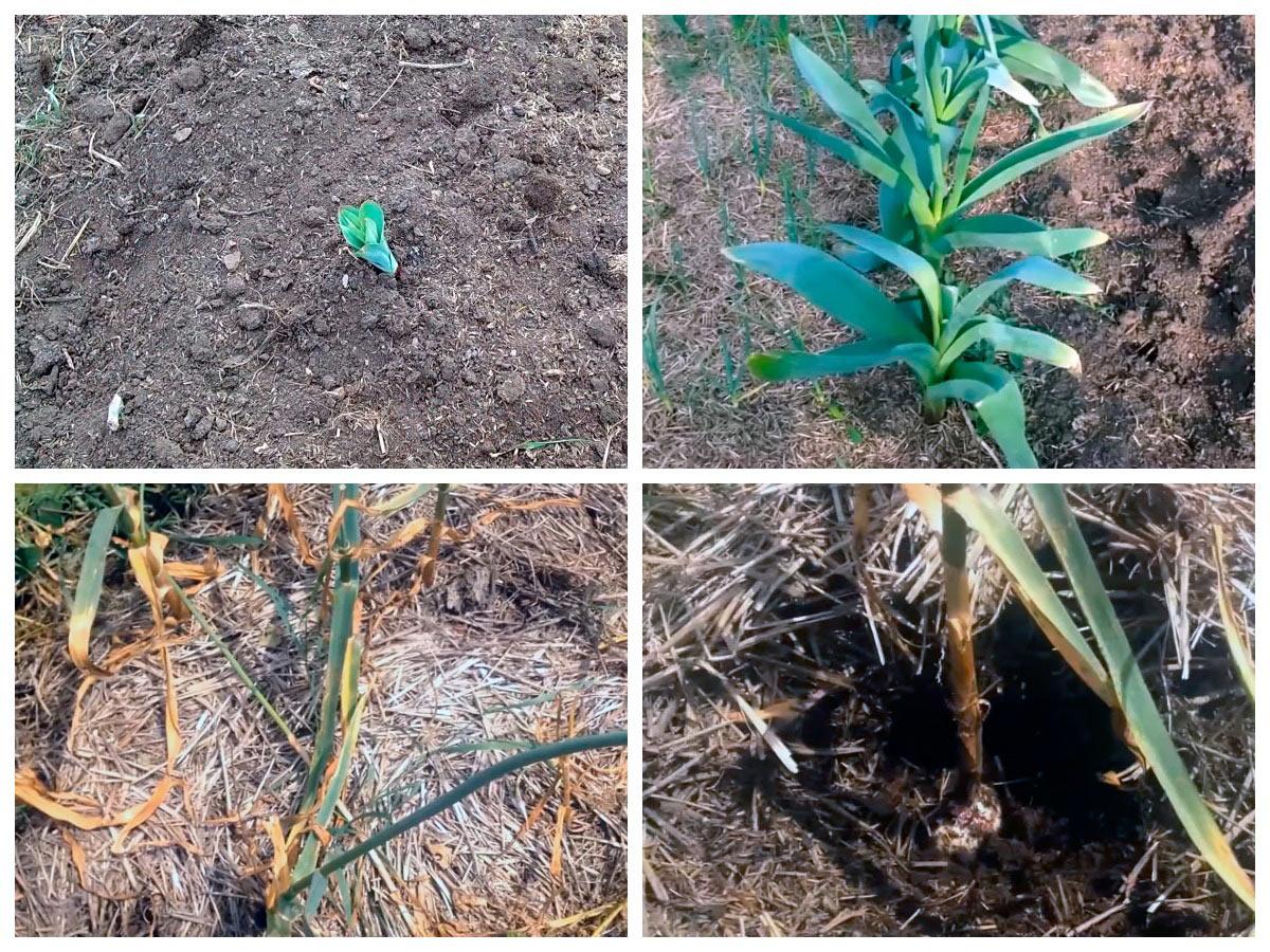 Выращивание крупного чеснока