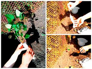 Высадка рассады фасоли в грунт