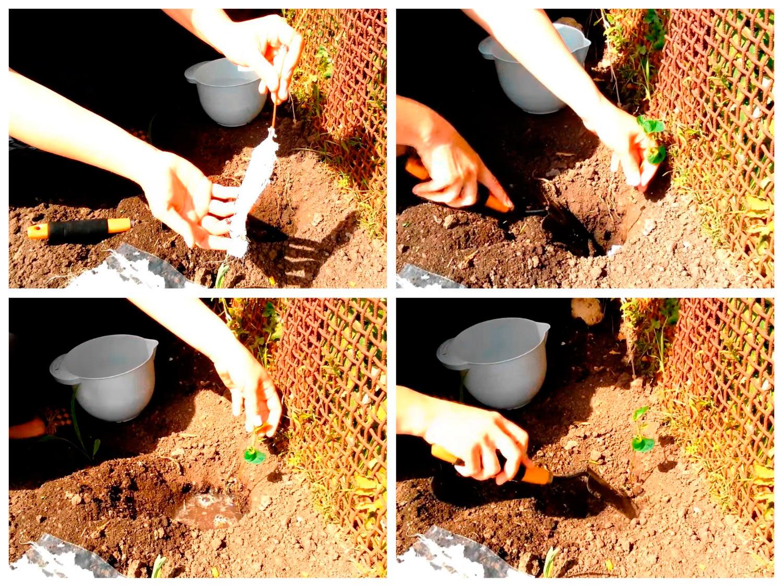 Высадка рассады фасолои в открытый грунт
