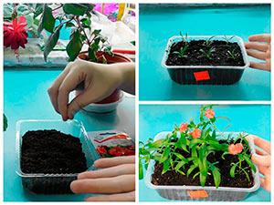 Выращивание рассады флоксов