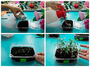 Выращивание рассады георгинов из семян