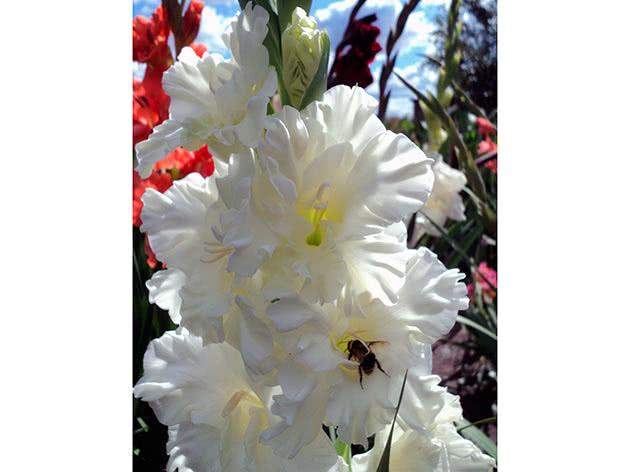 Гладиолус Белая береза