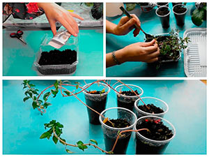Выращивание рассады годеции