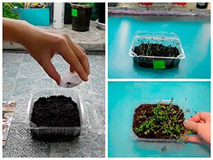 Выращивание рассады гвоздики