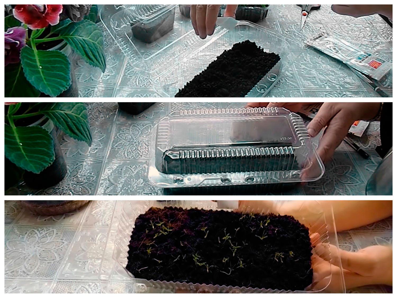 Посів насіння хризантеми з окропом