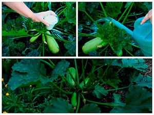 Уход за кабачками для большого урожая