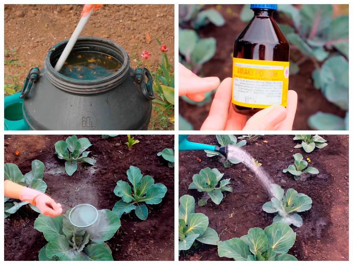 Подкормка и полив капусты