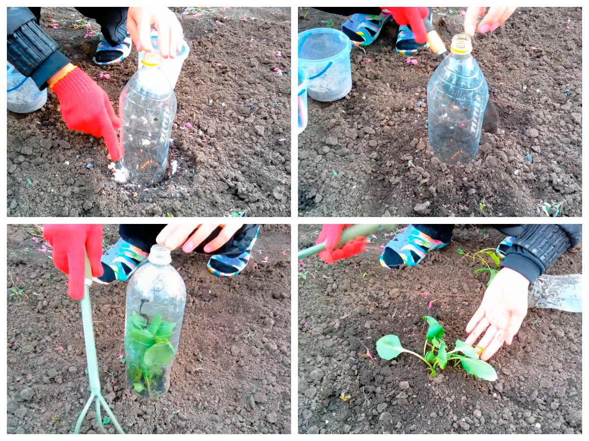 Посадка капусты в открытый грунт